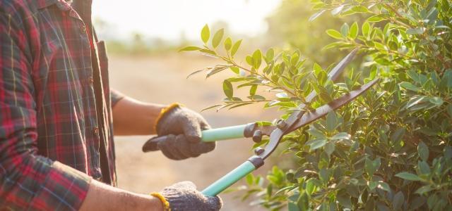 przycinanie krzewów zielonych